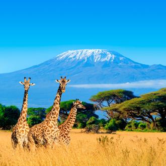 Giraffes voor de Kilimanjaro in Kenia