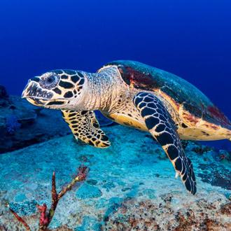 Karetschildpad in een koraal rif in Egypte