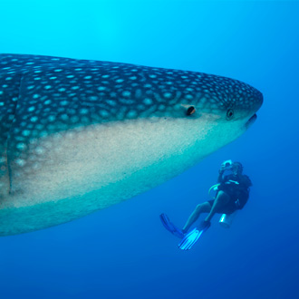 Duiken met walvis op de Malediven