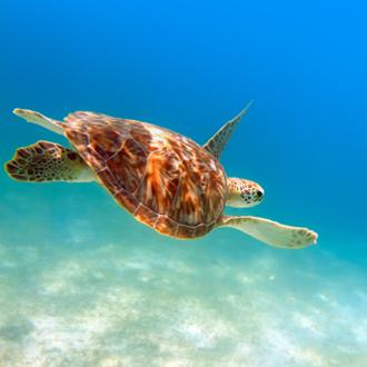 Zwemmende schildpad onder water in Maya Riviera