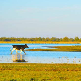 Een kalfje in een prachtig natuurgebied in Friesland, Nederland