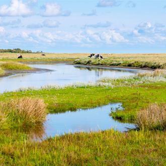Natuur en koeien in Schiermonnikoog in de provincie Friesland, Nederland