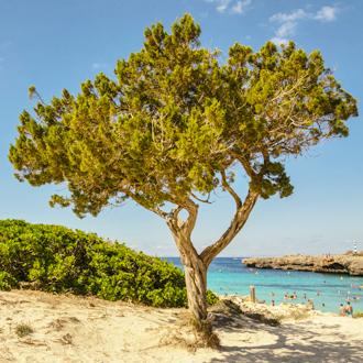 Grote boom op het strand van Cala en Bosch op Menorca