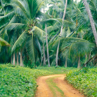 Kokosnoot plantage aan de zuidkust van Hikkaduwa