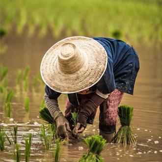 Thailand vrouw in rijstveld