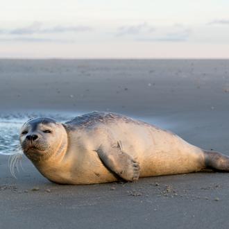 Zeehond op het strand van Texel