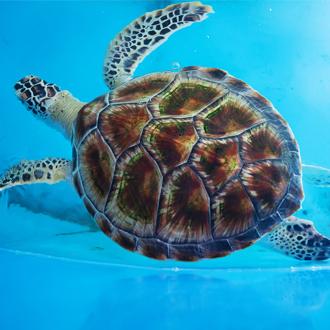 Volwassen schildpad in een zwembad van het Schildpadden Behoud Onderzoeksproject in Bentota