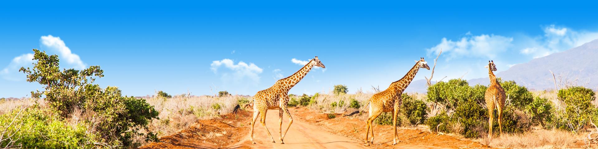 Overstekende giraffen, overeen Afrikaans landschap