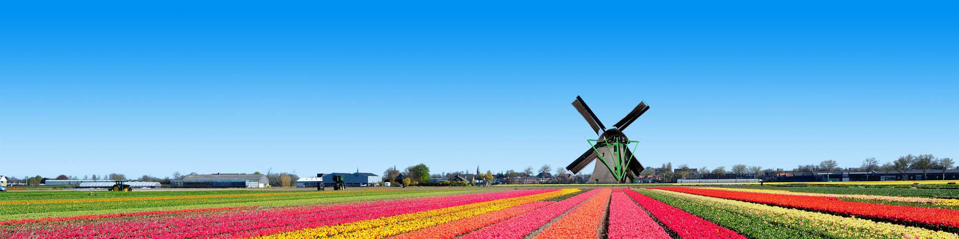 Kleurrijke tulpenvelden met rode, roze en gele tulpen en een molen tijdens een vakantie in Nederland